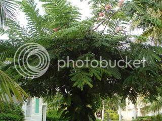 gambar pokok beriksa