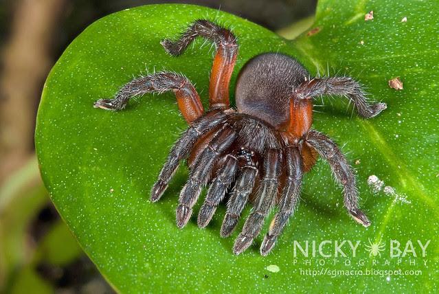 Spider with 10 Legs?!? Trapdoor Spider (Conothele sp.) - DSC_9940b