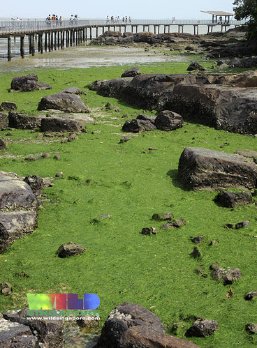 The shores of Chek Jawa are carpetted in Sea lettuce