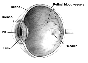 File:Human eye cross-sectional view grayscale.png