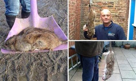 Easter is a perfect time for mutant rats to thrive, experts warn   UK   News   Express.co.uk