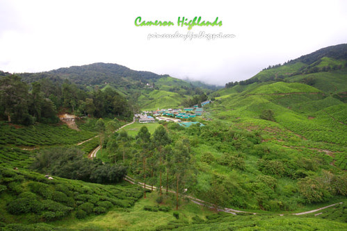 Cameron Highlands Boh Tea farm 2