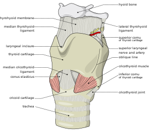 Larynx - antero-lateral view, with external mu...