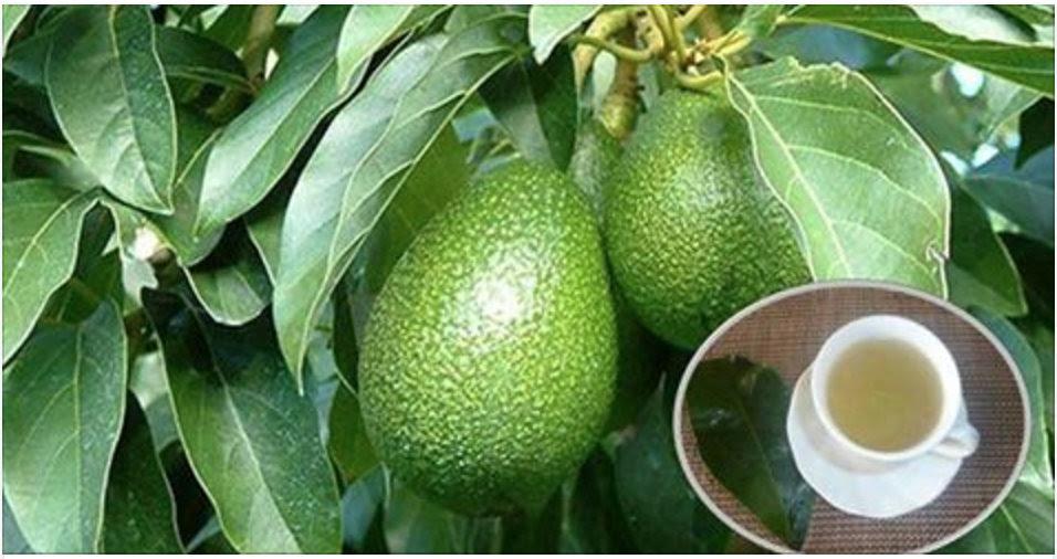 Resultado de imagem para As folhas de abacate e suas incríveis propriedades medicinais!
