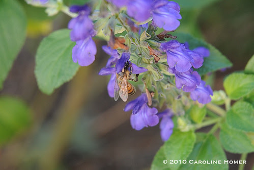 Bee and Indigo Spires salvia
