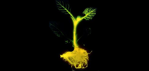 perierga.gr - Δέντρα που φωσφορίζουν αντί... λαμπτήρων!