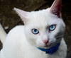 White Cat Breeds With Blue Eyes
