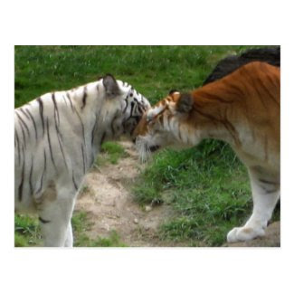 Tiger Love Post Cards