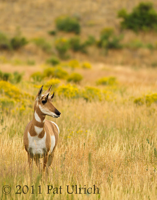 Pronghorn in the grass - Pat Ulrich Wildlife Photography