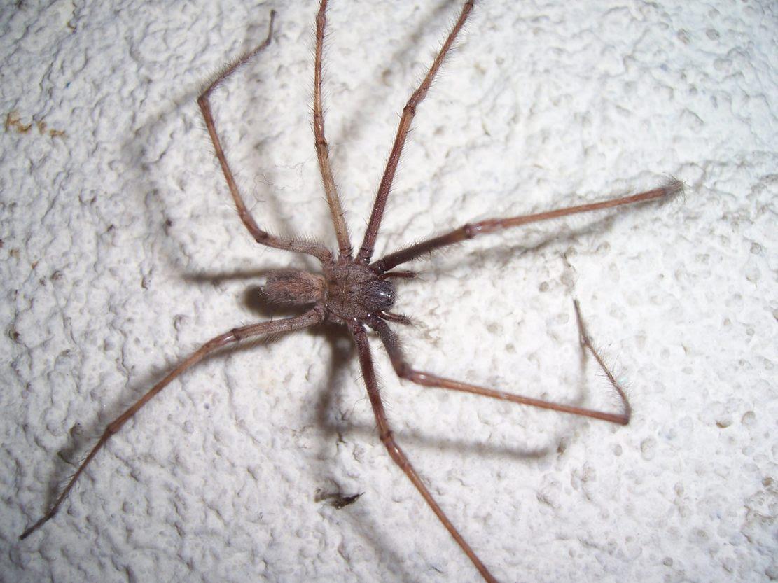 Arachnide : araignée faucheux