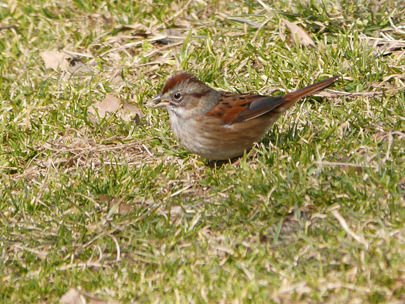 Ed Gaillard: recent &emdash; Swamp Sparrow, Central Park