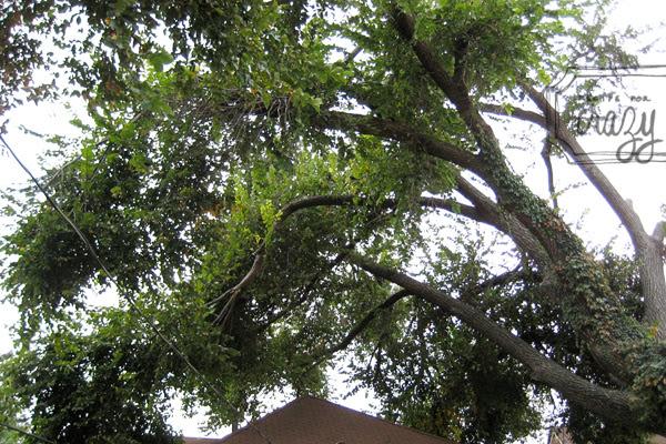 huge tree over house