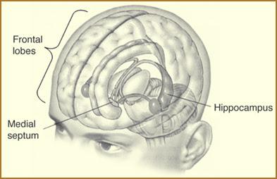 hippocampusfrontallobes
