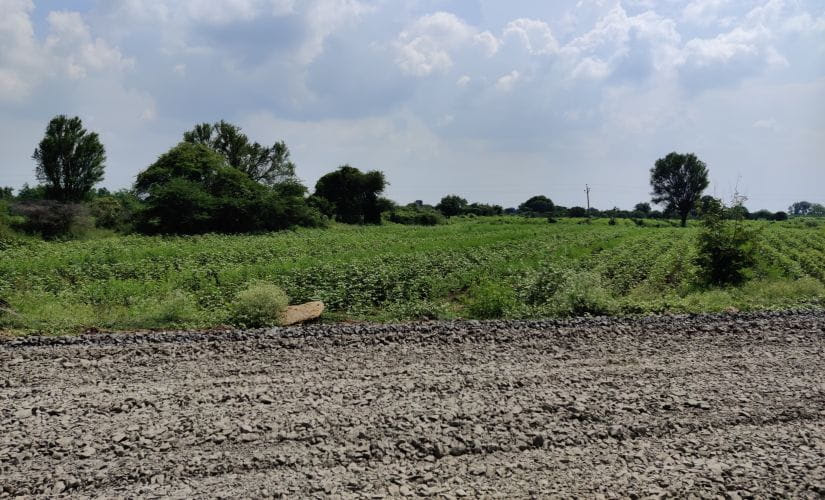 Erratic rainfall this season has meant the cotton crop is stunted, and the harvest would be half of what it is in a decent year. Image/Parth MN