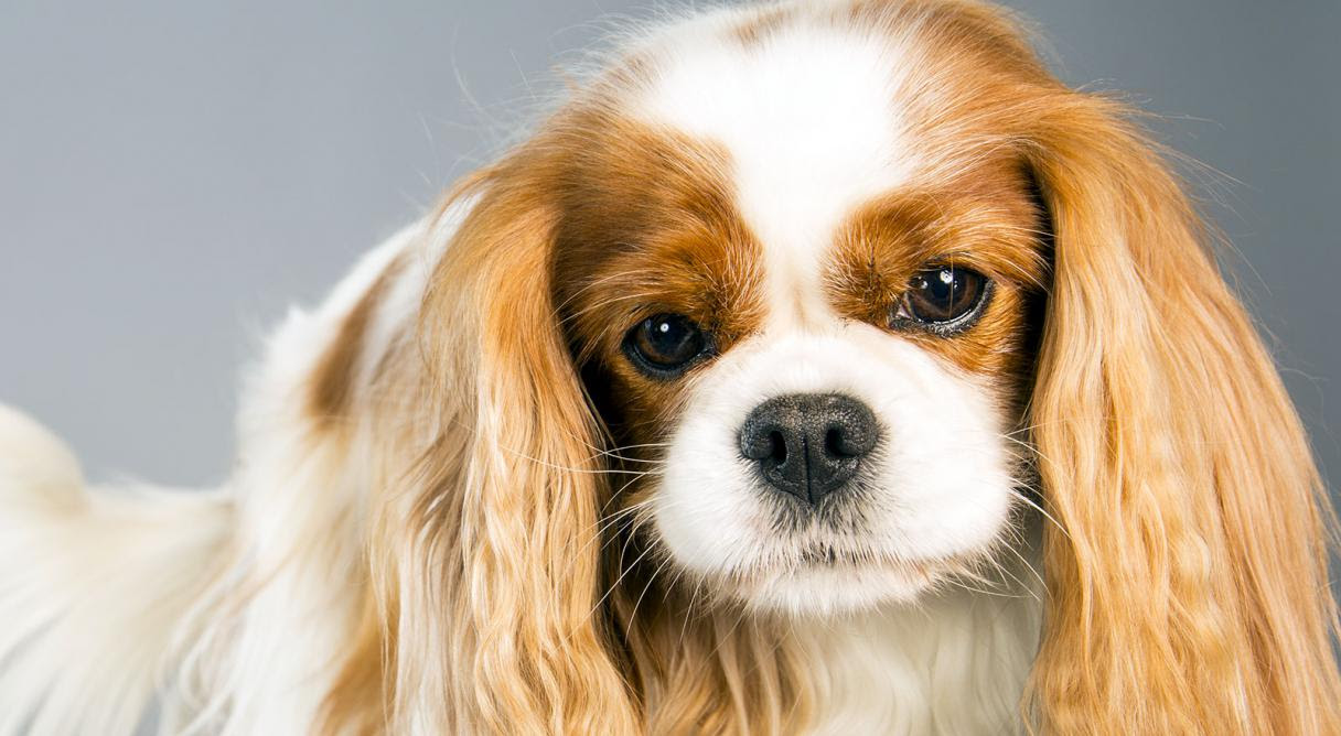 Cavalier King Charles Spaniel Eat Sleep Walk
