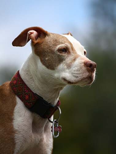 Noble Pink Nosed Pit Bull