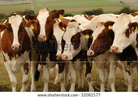 Electric Fence Cows And Electric Fence