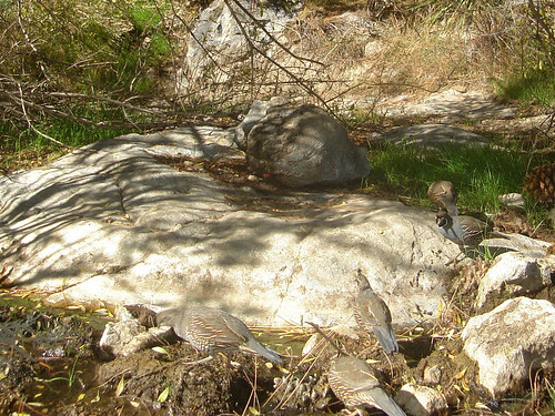 cal quail coming thru