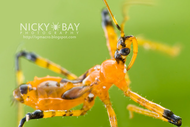 Assassin Bug (Reduviidae) - DSC_9710