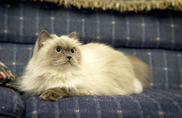 600px persian cat on couch