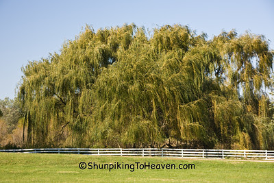 Weeping Willow and White Fence, Green County, Wisconsin