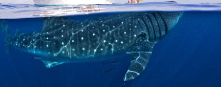 The lower portion of Shawn Heinrich's photo of a whale shark beneath a boat (Y! Sports screengrab)