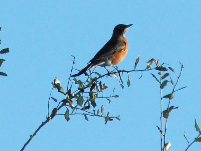 American Robin 20131205