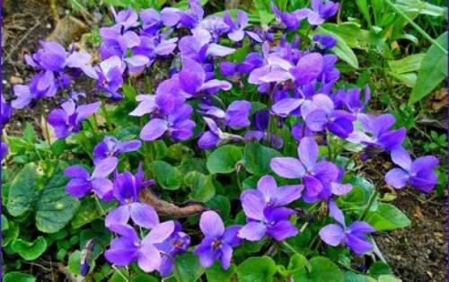 """Résultat de recherche d'images pour """"violette"""""""
