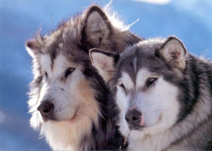 Alaskan Malamute  Hunderassen  Haustiere