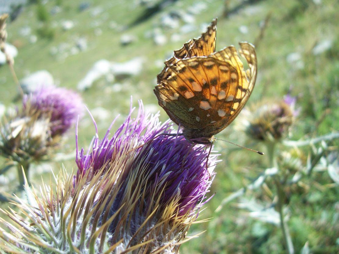 Photo de papillon : le moyen nacré - fabriciana adippe