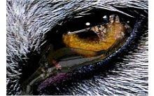 Olho de lobo