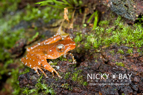 Spotted Tree Frog (Nyctixalus pictus) - DSC_6300