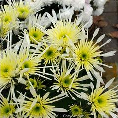 Chrysanthemum 'Vesuvio Green' - Chryzantema 'Vesuvio Green'