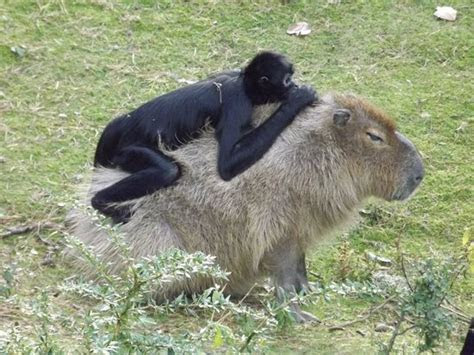 Spider Monkey on a Capybara   Picture of Apenheul, Apeldoorn   TripAdvisor