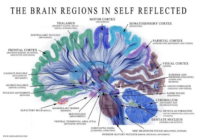 Discover THE NEUROSCIENCE BEHIND SELF REFLECTED from GREG DUNN NEURO ART