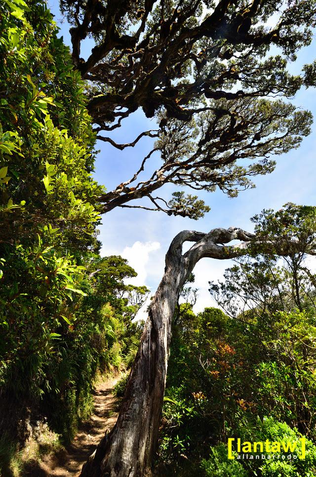 Ambangeg Twisted Trees