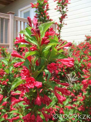 Red Prince Weigela