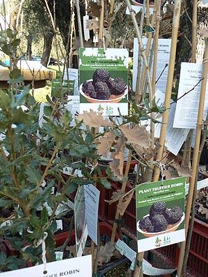 chênes truffiers.jpg