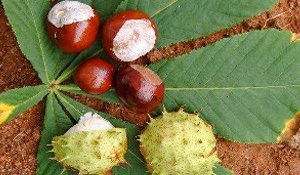 230-plantas-medicinales-mas-efectivas-y-sus-usos-castañas-de-indias