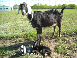 Nubian Nanny Goat Betsy with New Kids Rhett and Scarlett
