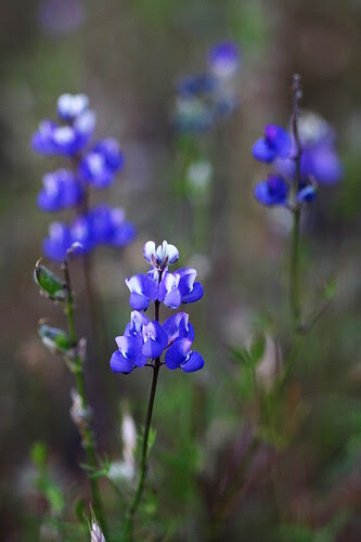California wild blue lupines