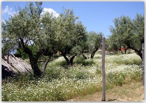 margaritas... olivos