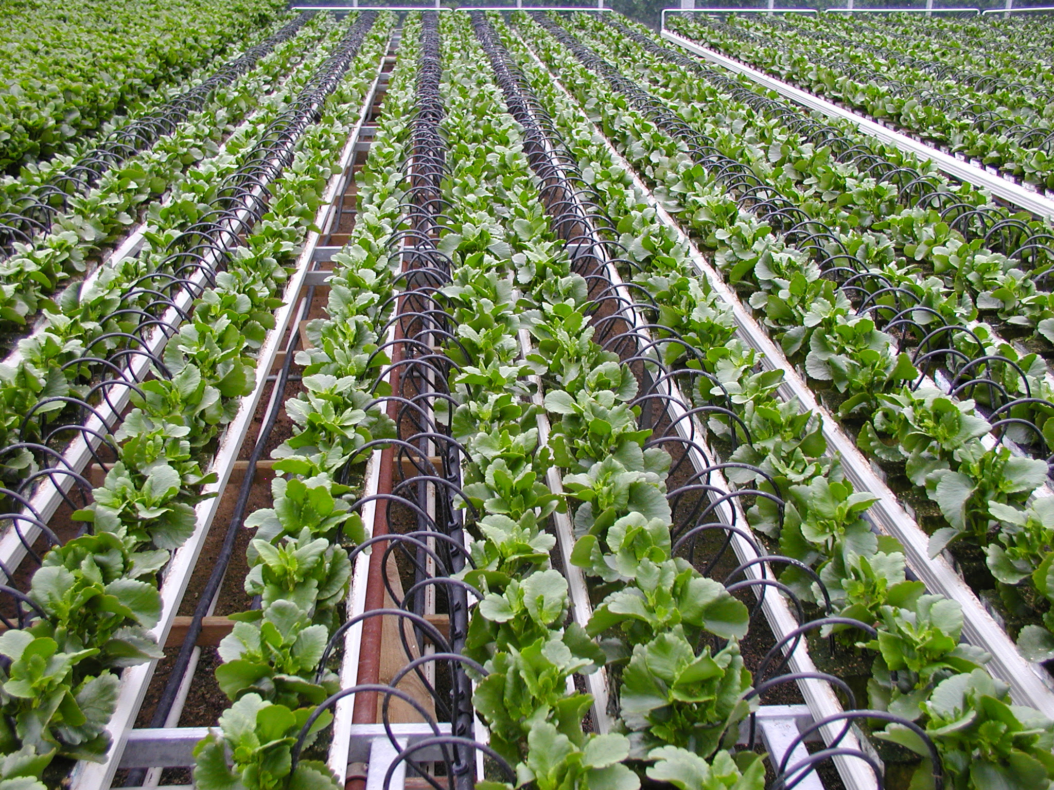 Pot_irrigation_by_On line_drippers