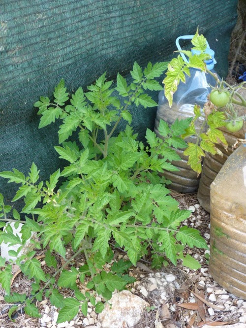 Self-seeded tomato growing by the compost heap