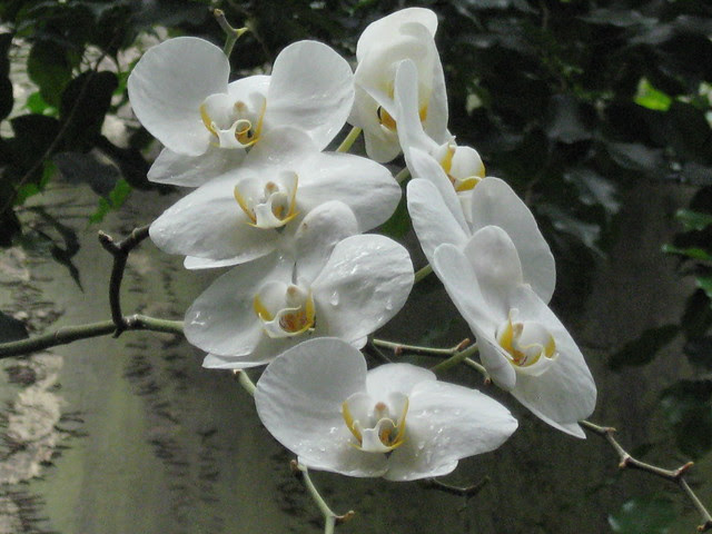 White Orchid at Zoo