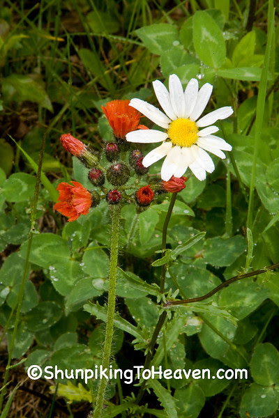 Ox-Eye (Common) Daisies and Orange Hawkweed, St. Louis County, Minnesota