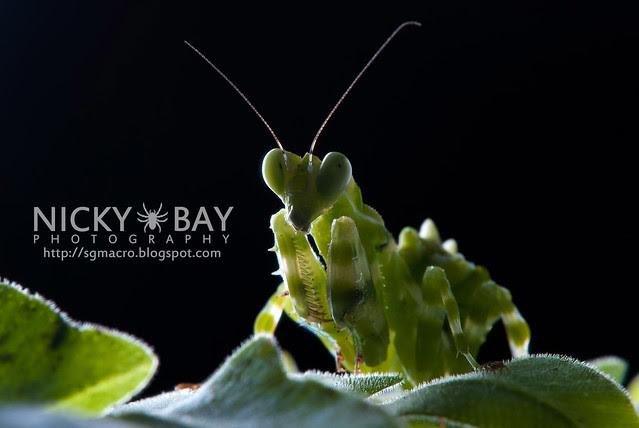 Banded Flower Mantis (Theopropus elegans) - DSC_3616