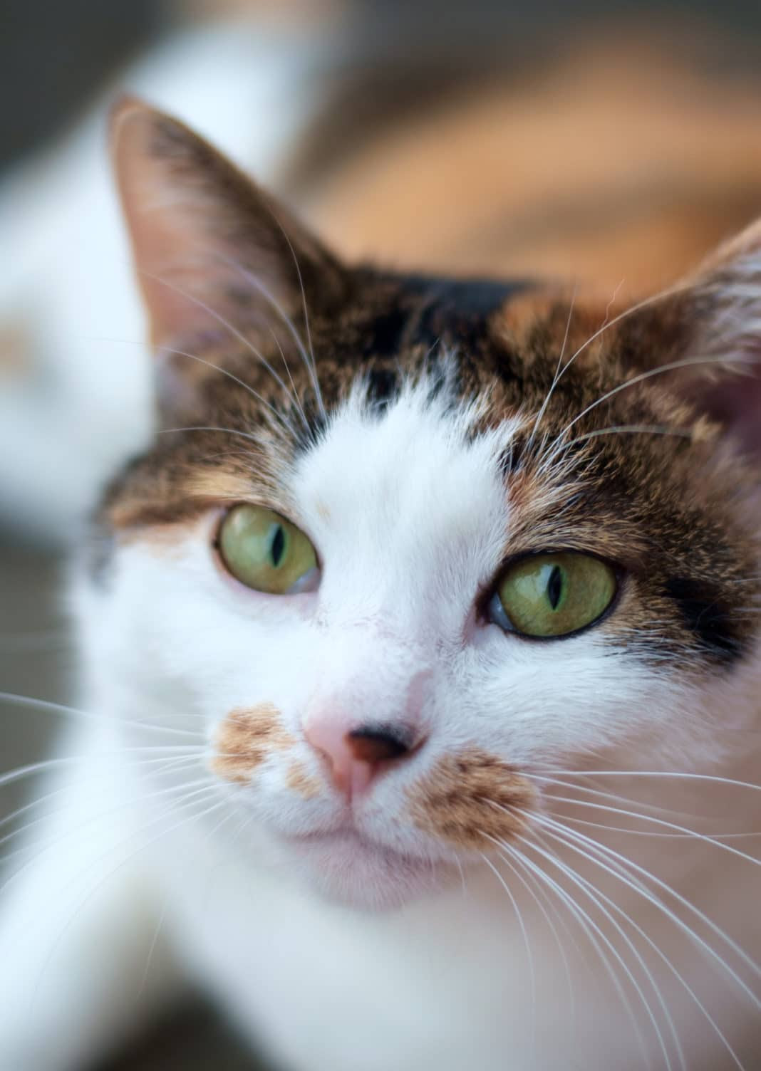 Calico Cat Breeds   The Tri-Color and Gorgeous - Cats In Care