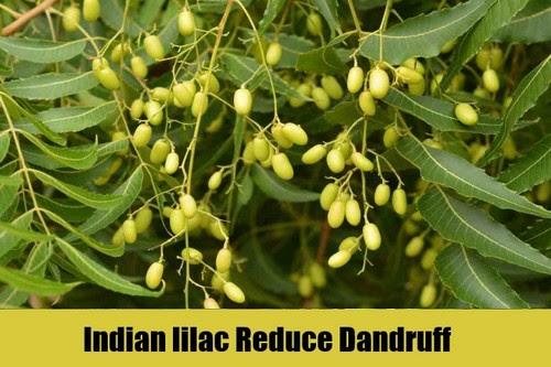 Indian lilac Reduce Dandruff