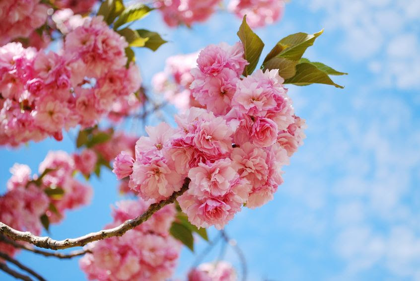 Cherry Blossom Trees Spring Up Keil Tree Experts Inc